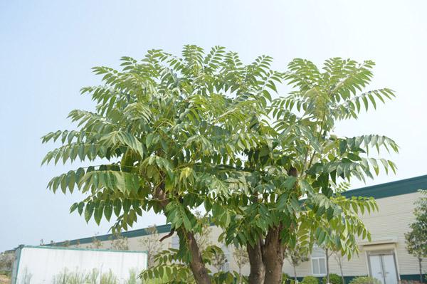 香椿树.JPG